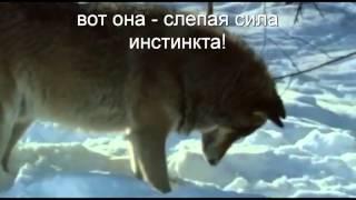 видео Почему собаки роют землю?