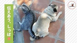 パグさんと猫さん、尻尾でコミュニケーション💭【PECOTV】 thumbnail
