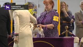 Chihuahuas (Smooth Coat)   Breed Judging 2019