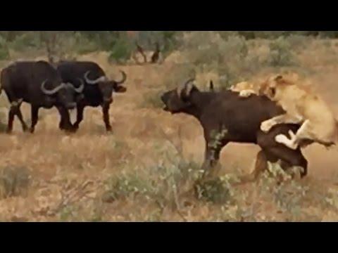 Buffaloes Try Saving Buffalo From Hunting Lions