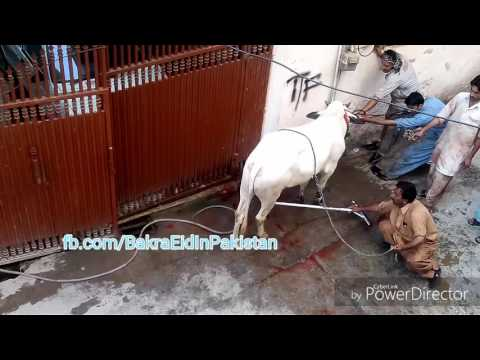 Angry Bull Qurbani 2016