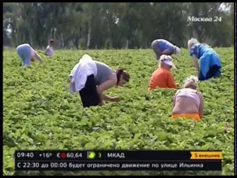 Совхоз имени Ленина приглашает москвичей на сбор клубники