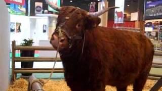 Les vaches au Salon de l'Agriculture 2010