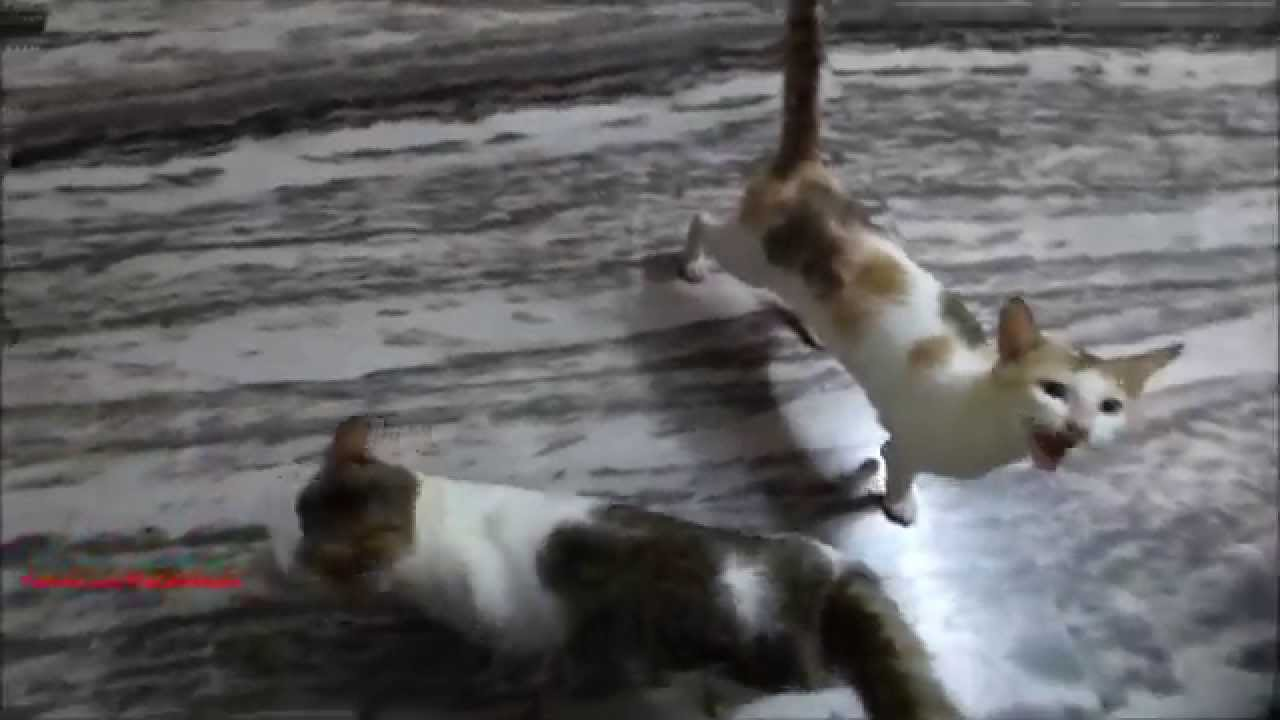 Cats Meowing Loudly For Food