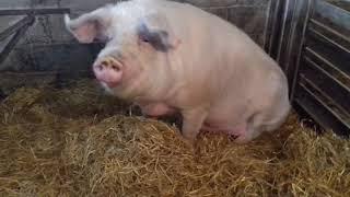 Лайфхак приколы#2019#свинья#деревня#новинка#лпх#поросята#стейк#хайп#ржач#ферма#кабан#2019#хозяйс