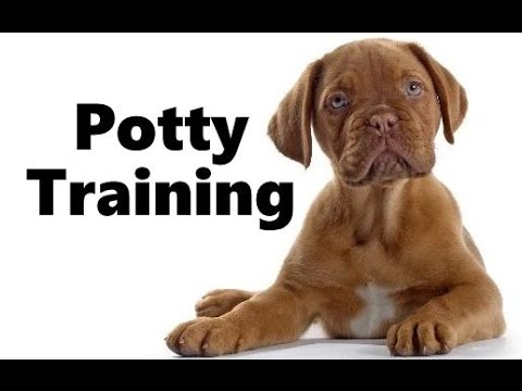 How To Potty Train A French Mastiff Puppy - Dogue de Bordeaux Training - French Mastiff Puppies