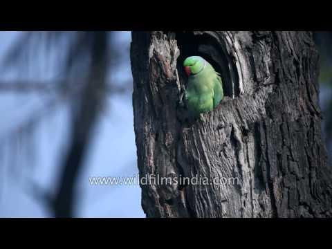Rose-ringed Parakeet at tree hole nest in Bharatpur