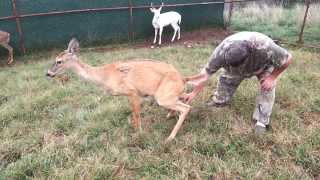 Showing you how we harvest our 100% Doe and Buck Urine.