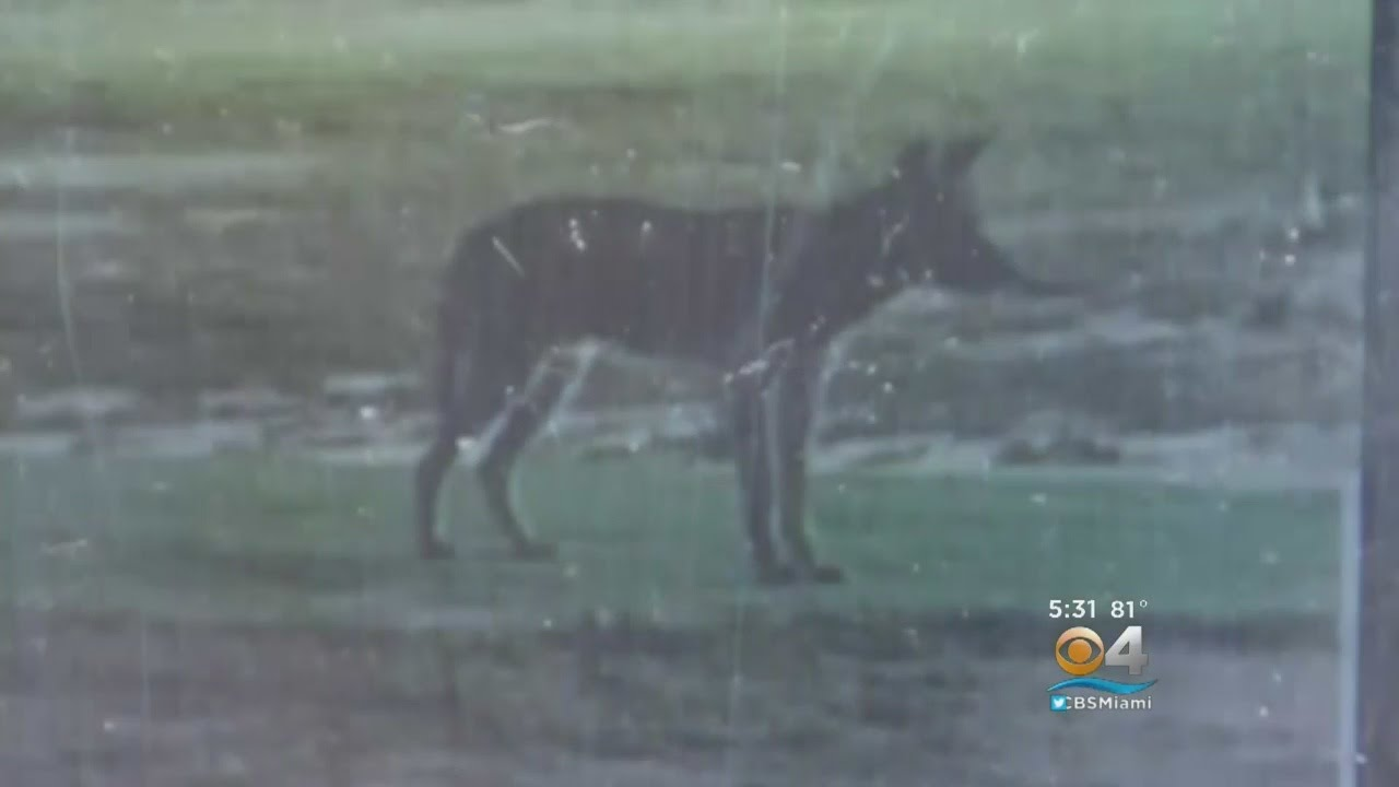 Missing Cats Blamed On Coyotes In Northern Broward Neighborhood
