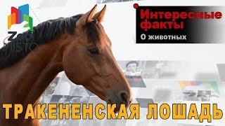 Тракененская лошадь - Интересные факты о породе лошадей  | Порода лошадей Тракененская лошадь