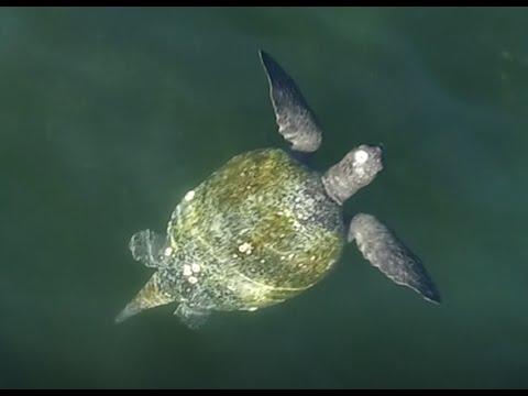 Male Green Turtle At Playa Cabuyal, Costa Rica