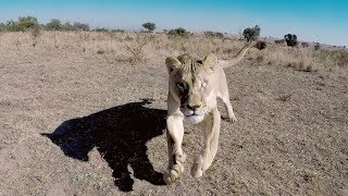 Naiobi Wants To Say Hello! | The Lion Whisperer
