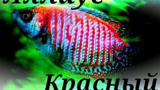 Аквариумные рыбки.Лялиус Красный