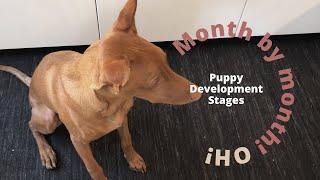 Puppy Development Stages   Pharaoh Hound   27 months old