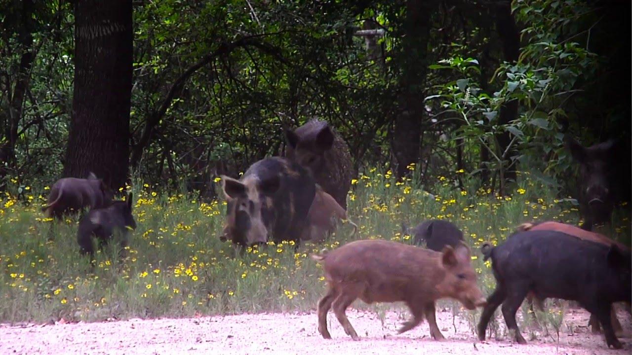 556 for hog hunting
