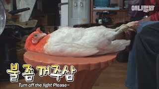 잘꼬닭-l-true-or-false-a-chicken-lies-asleep-like-humans
