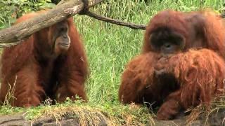 Zoo View Sumatran Orangutan-Cincinnati Zoo