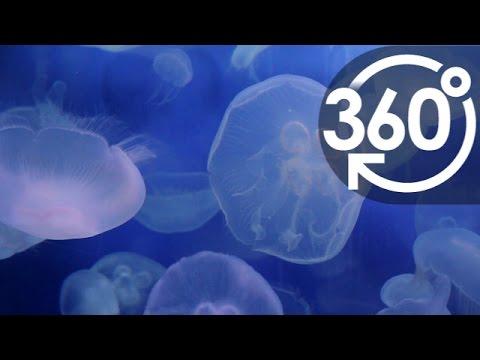 【いきもの目線】ミズクラゲ(360Lives / Moon Jellyfish)