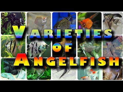 The Varieties Of  Angelfish Angel Fish Aquarium
