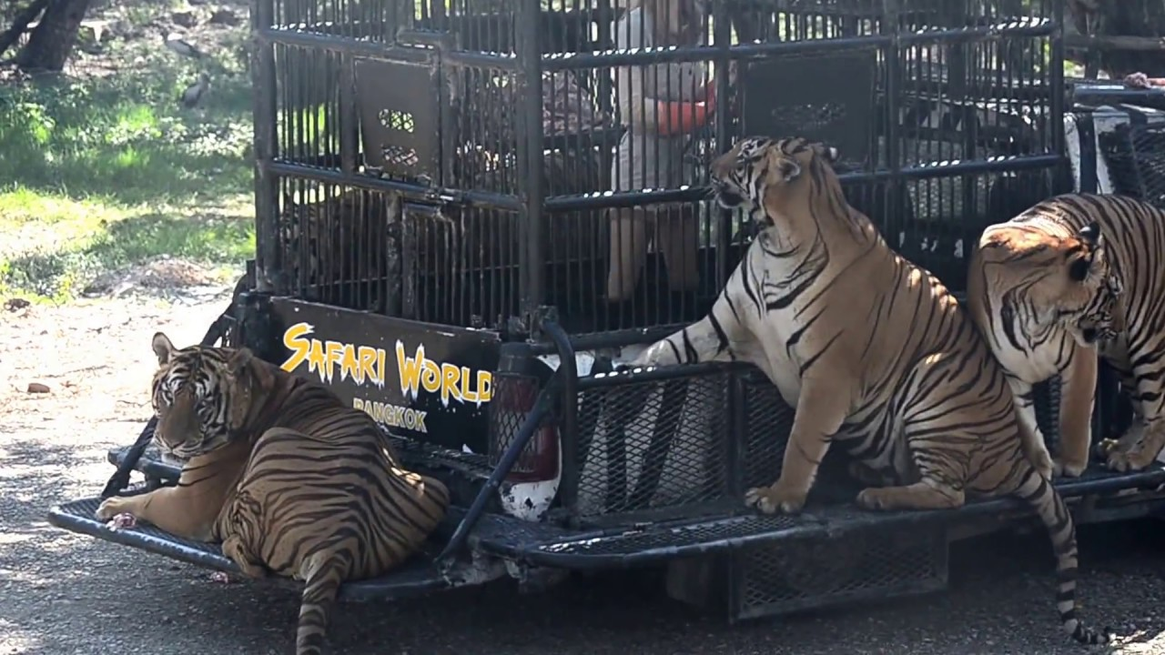 Tiger Feeding in Bangkok Safari World