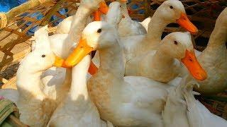 Big Duck Price
