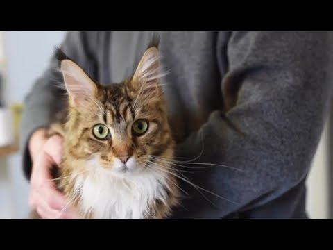 Maine Coon Molly Doesn't Mind Being Held (1 Year)