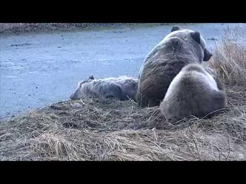 Природа Аляски Медведица стережет и ласкает мёртвого детёныша Mommy Bear Caresses Dead Cub
