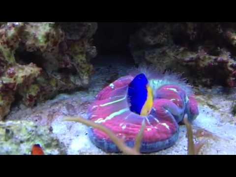 Open Brain Coral Eating Azure Damselfish