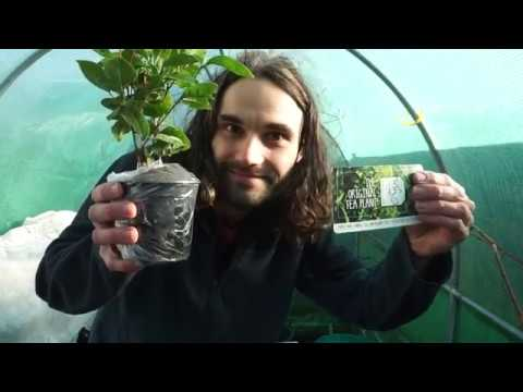 Growing Tea In Cold Climates! The UK!