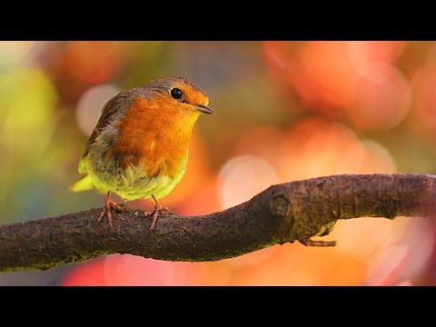 4 HORAS de Sonidos Relajantes de Pájaros Cantando: el Canto de las Aves, la Naturaleza y el Bosque