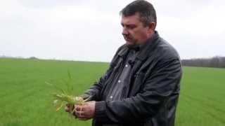 Обработка зерновых весной
