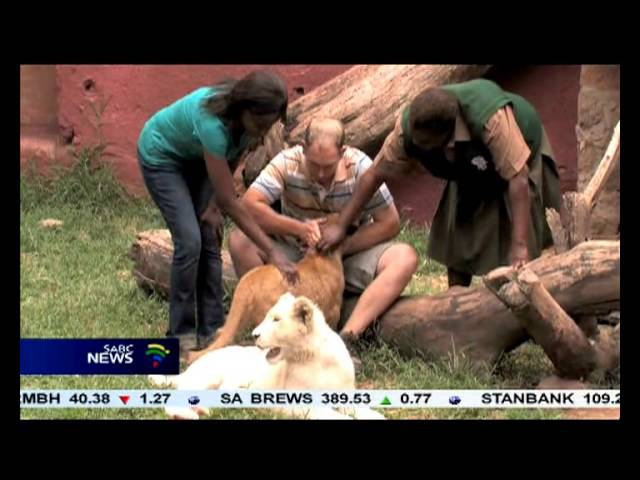 A Lion gives birth to eight cubs in Zimbabwe.