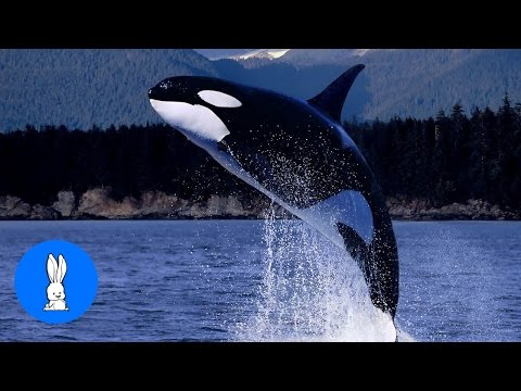 Wild Orca Killer Whales Swimming in HD - Compilation
