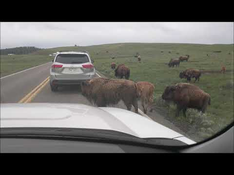 Yellowstone N.P. - Hayden Valley - Bison 2018 Jun. 15