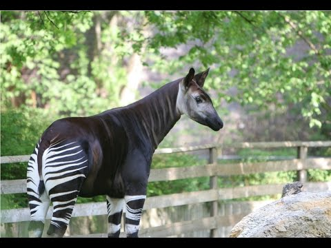 Amazing Facts About The Okapi