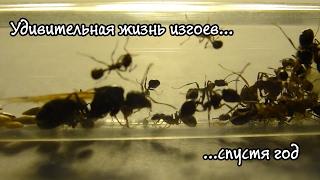 Необычная жизнь муравьёв без королевы (яйценесущей матки). Часть 3