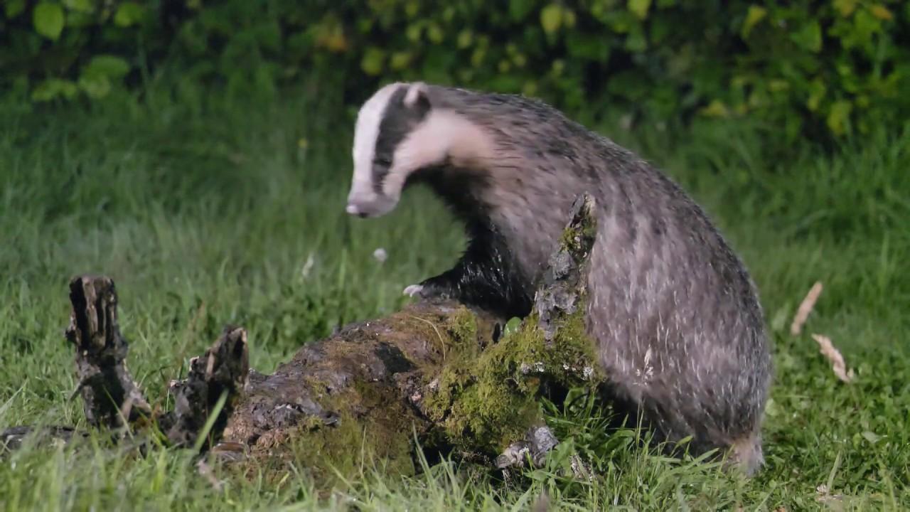 Feeding Badger