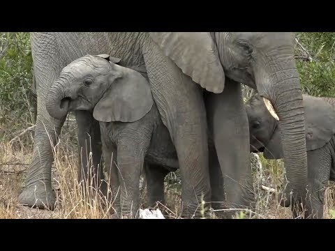 SafariLive. Double trouble elephant toddlers. Too cute!