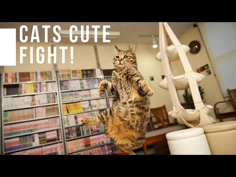 vivipet-|-2019-cute-cat-fights-you-must-watch