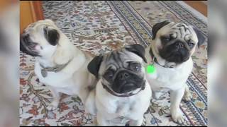 Funniest Cute Pet Home Videos of 2018 Weekly Compilation Funny Pet Videos   Tin TV   Animals