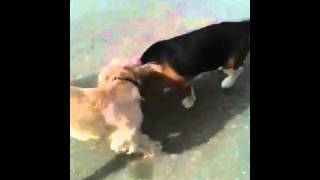 Beagle Vs Cocker Spaniel