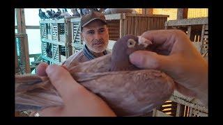 #لقاء_مع_غاوي الحاج مصطفى البدوي(ج٢) تربية الحمام الزاجل Racing pigeons