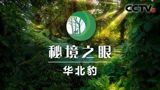 《秘境之眼》 华北豹 20200607| CCTV