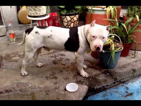 Pitbull blanco y negro 2 youtube for Aparador blanco y negro