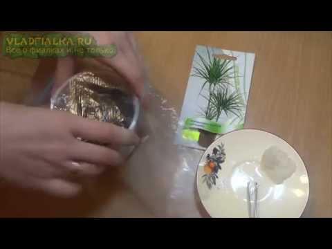 Как вырастить пальму из -