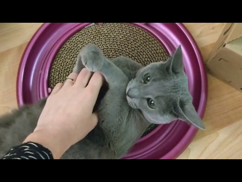 Cat plays with new toy (Lena the Russian Blue)