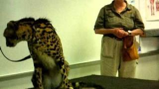 Drawing and Anatomy Class -- King Cheetah