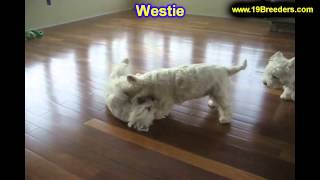 West Highland Terrier, Puppies, For, Sale, In, Boise City, Idaho, Id, Rexburg, Post Falls, Lewiston,