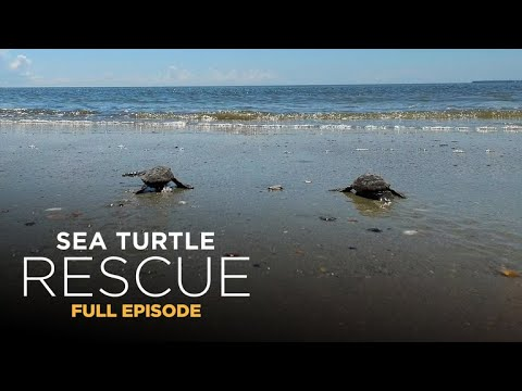 Sea Turtle Rescue 105: Hatchling Hotspot