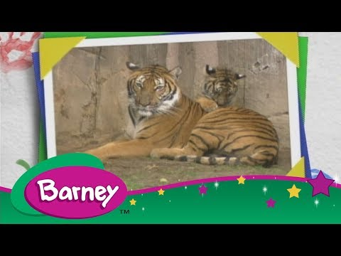 Barney  🐱 Tigers are Very Big Cats!